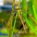 סירן נודד - Photo (c) frahome,  זכויות יוצרים חלקיות (CC BY-NC)