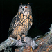 Eurasian Eagle-Owl - Photo (c) goforanimals, some rights reserved (CC BY-NC)