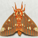 Regal Moth - Photo (c) John Morgan, some rights reserved (CC BY-NC)