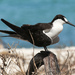 Sooty Tern - Photo (c) José Antonio Linage Espinosa, some rights reserved (CC BY-NC)