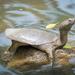 Pelodiscus sinensis - Photo (c) 尹若宇, algunos derechos reservados (CC BY-NC)