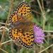 Dark Green Fritillary - Photo (c) fausto, some rights reserved (CC BY-NC-ND)