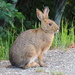 Snowshoe Hare - Photo (c) Sue Wetmore, some rights reserved (CC BY-NC)
