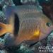Blackbar Damselfish - Photo (c) Nigel Marsh, some rights reserved (CC BY-NC)