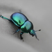 Springtime Dung Beetle - Photo (c) Dr. Guido Bohne, some rights reserved (CC BY-SA)