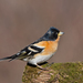Brambling - Photo (c) Геннадий, some rights reserved (CC BY-NC)