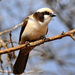 Southern White-crowned Shrike - Photo (c) Ian White, some rights reserved (CC BY-ND)