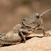 Grasshoppers, Locusts, and Allies - Photo (c) Ferran Turmo Gort, some rights reserved (CC BY-NC-SA)