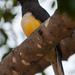Trogon citreolus - Photo (c) Stephen John Davies,  זכויות יוצרים חלקיות (CC BY-NC)