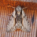 Summer Hyppa Moth - Photo (c) Jim Johnson, some rights reserved (CC BY-NC-ND)