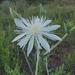 Mentzelia nuda - Photo (c) ellen hildebrandt,  זכויות יוצרים חלקיות (CC BY-NC)