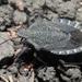 Mustha spinosula - Photo (c) Felix Riegel, algunos derechos reservados (CC BY-NC)