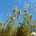 Eastern Mojave Buckwheat - Photo (c) Rebecca, some rights reserved (CC BY-NC), uploaded by Rebecca Marschall