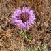 Monardella villosa - Photo (c) randomtruth, algunos derechos reservados (CC BY-NC-SA)