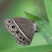 Mycalesis mineus - Photo (c) Seth Wollney, algunos derechos reservados (CC BY-NC)