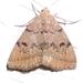 Zanclognatha dentata - Photo (c) judywelna, algunos derechos reservados (CC BY-NC)