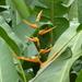Heliconia latispatha - Photo (c) Sierra Wallace, algunos derechos reservados (CC BY-NC)