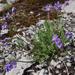 Polemonium pulcherrimum pulcherrimum - Photo (c) Benjamin Schwartz, algunos derechos reservados (CC BY-NC)