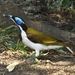 Blue-faced Honeyeater - Photo (c) sarinozi, some rights reserved (CC BY-NC)