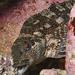 Chironemus marmoratus - Photo (c) John Turnbull,  זכויות יוצרים חלקיות (CC BY-NC-SA), uploaded by Marine Explorer (John Turnbull)