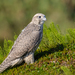 Gyrfalcon - Photo (c) kulyabin67, some rights reserved (CC BY-NC)