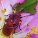 Merhynchites bicolor - Photo (c) Keith Roragen, osa oikeuksista pidätetään (CC BY-NC-SA)