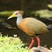 Russet-naped Wood-Rail - Photo (c) Carlos Sanchez, some rights reserved (CC BY-NC)