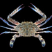 Asian Blue Swimming Crab - Photo (c) Ondřej Radosta, some rights reserved (CC BY-NC)