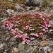 Kalmia procumbens - Photo (c) mallain, algunos derechos reservados (CC BY-NC)