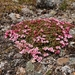 Alpine Azalea - Photo (c) mallain, some rights reserved (CC BY-NC)