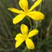 Rough Menodora - Photo (c) Steve Jones, some rights reserved (CC BY-NC)