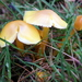 Hygrocybe chlorophana - Photo (c) Peter aka anemoneprojectors, μερικά δικαιώματα διατηρούνται (CC BY-SA)