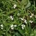 Galium palustre - Photo (c) James Bailey, algunos derechos reservados (CC BY-NC)