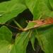 Homoeocerus striicornis - Photo (c) sunnetchan, algunos derechos reservados (CC BY-NC-SA)