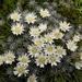 Raoulia grandiflora - Photo (c) Barbara Barratt, algunos derechos reservados (CC BY-NC)