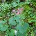Adenostyles alpina - Photo (c) Muriel Bendel, algunos derechos reservados (CC BY-NC)