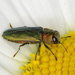Anthaxia nitidula - Photo (c) Guido Bohne, algunos derechos reservados (CC BY-SA), uploaded by Dr. Guido Bohne
