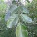Platymiscium pinnatum - Photo (c) Daniel A. Monsalve Ortiz, some rights reserved (CC BY)