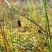Carex limosa - Photo (c) Biopix, μερικά δικαιώματα διατηρούνται (CC BY-NC)