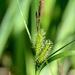 Carex vesicaria - Photo (c) Mr. Tonreg, algunos derechos reservados (CC BY)