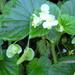 Begonia hirtella - Photo (c) Forest and Kim Starr, algunos derechos reservados (CC BY)