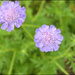 Scabiosa comosa - Photo (c) Lee, seong-won, some rights reserved (CC BY-NC)