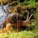 Vespericola columbianus - Photo (c) natureguy, osa oikeuksista pidätetään (CC BY-NC-ND)