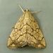 Purple-backed Cabbageworm Moth - Photo (c) Dick, some rights reserved (CC BY-NC-SA)