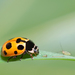 Notated Lady Beetle - Photo (c) Gilles San Martin, some rights reserved (CC BY-SA)
