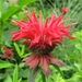 Scarlet Beebalm - Photo (c) Shihmei Barger 舒詩玫, some rights reserved (CC BY-NC-ND)
