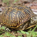 Desert Box Turtle - Photo (c) Mike Jones, some rights reserved (CC BY-NC)