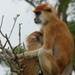 Patas Monkey - Photo (c) Chelsea Skinner, some rights reserved (CC BY-NC)