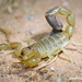 Fattail Scorpions - Photo (c) Martina Milanese, some rights reserved (CC BY-NC-ND)