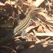 Aspidoscelis hyperythrus beldingi - Photo (c) Stevie Kennedy-Gold, algunos derechos reservados (CC BY-NC)